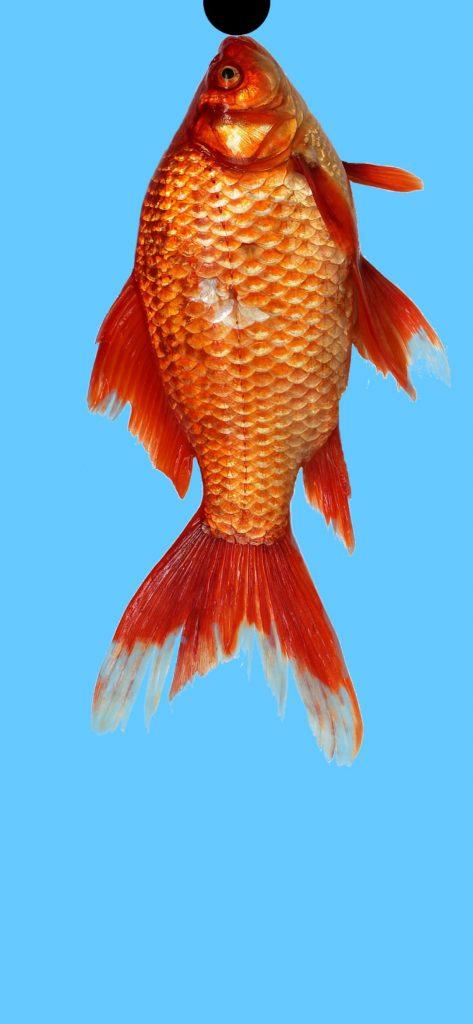 fish punch hole wallpaper